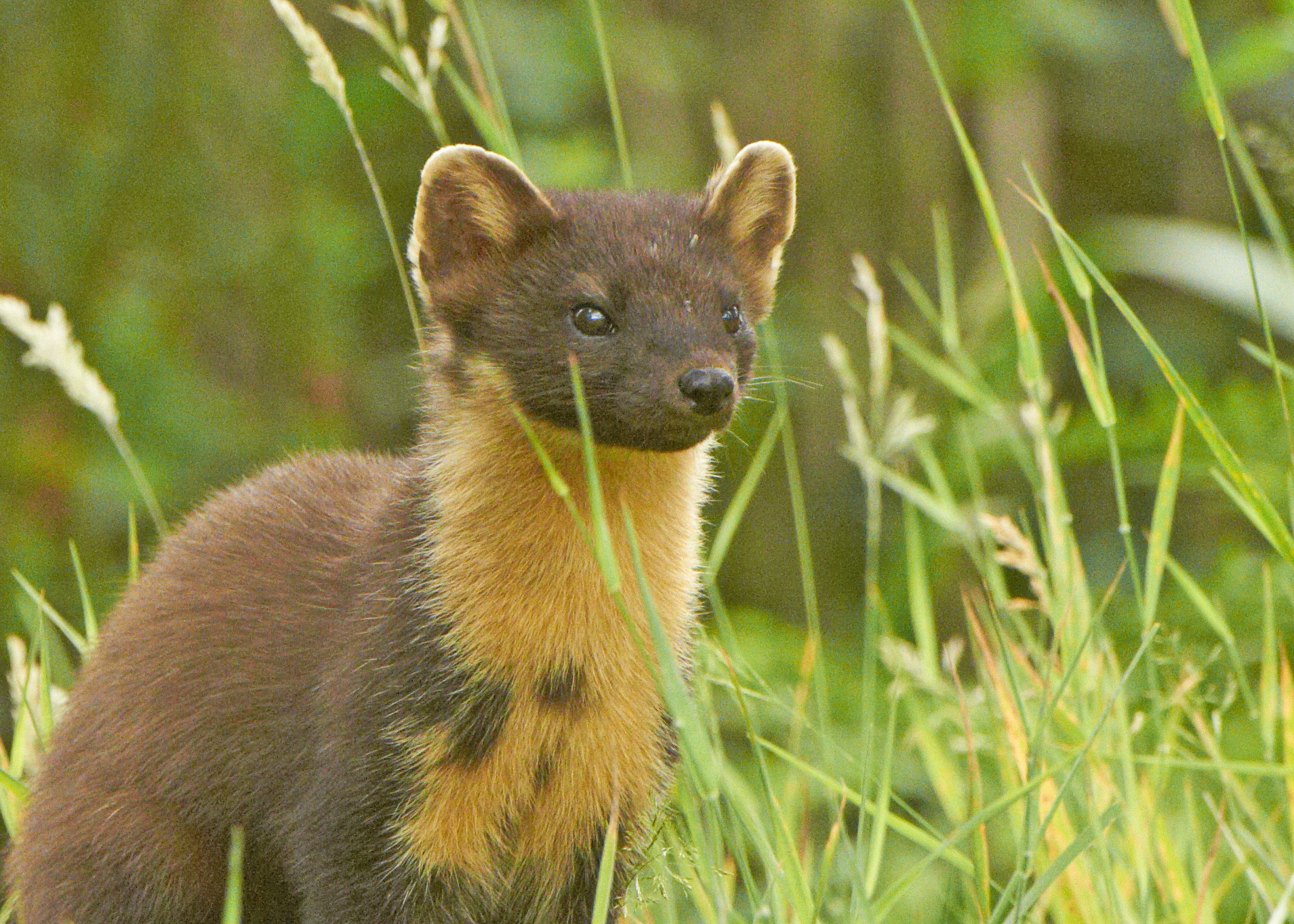 From a puppy mill in Iran to a new life for spunky St Pictures of a pine marten